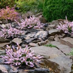 Вереск обыкновенный: выращивание из семян, посадка и уход в открытом грунте, сорта садового вереска