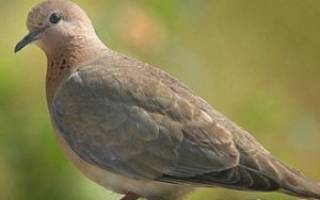 Сизые голуби: особенности вида и образ жизни птиц