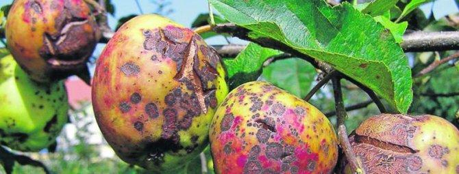Почему сохнут листья у яблони и как это предотвратить?