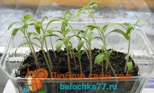 Как правильно пересадить помидоры   вырасти сад!
