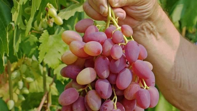 Виноград - декабрьский: особенности сорта и специфика выращивания с фото и отзывами