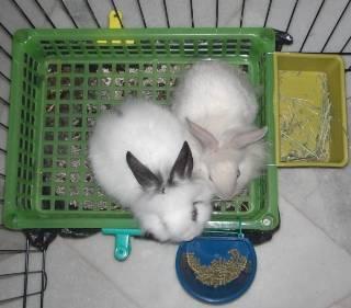 Как приучить кролика к лотку в квартире