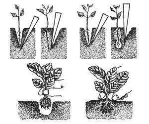 Как вырастить рассаду капусты - три лучших способа