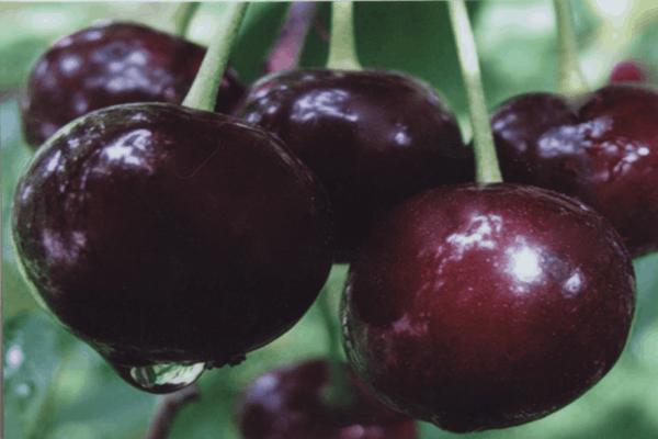 Хотите знать отзывы дачников о вишне шоколадница?