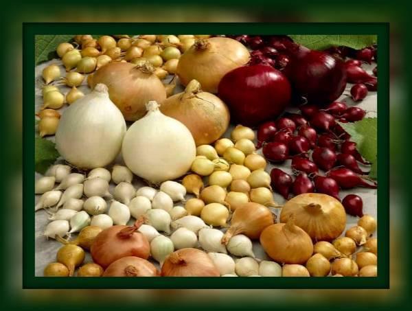 Секреты посадки лука под зиму осенью: сроки посадки и лучшие сорта, агротехника выращивания |