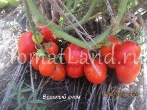Описание серии томатов гном: правила выращивания и уход