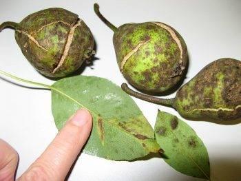 Методы борьбы с паршой яблони и сорта яблонь устойчивых к парше