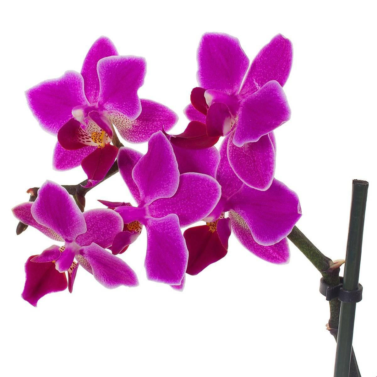 Фаленопсис стюарта: фото и описание орхидеи стюартиана пико чип