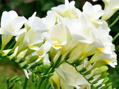 Фрезия: описание, фото, выращивание и уход в домашних условиях