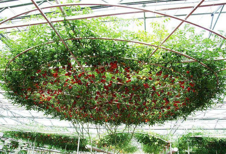 Томатное дерево спрут f1: выращивание в открытом грунте, в теплице, отзывы