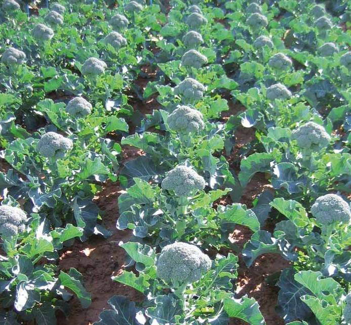 Капуста брокколи: фото, выращивание и уход в открытом грунте