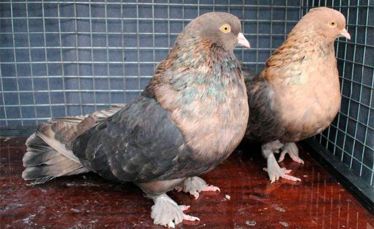 Высоколетные голуби. все о голубях
