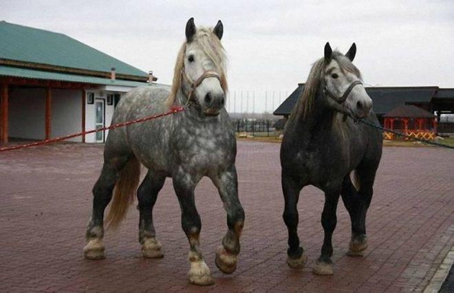 Французская лошадь породы першерон