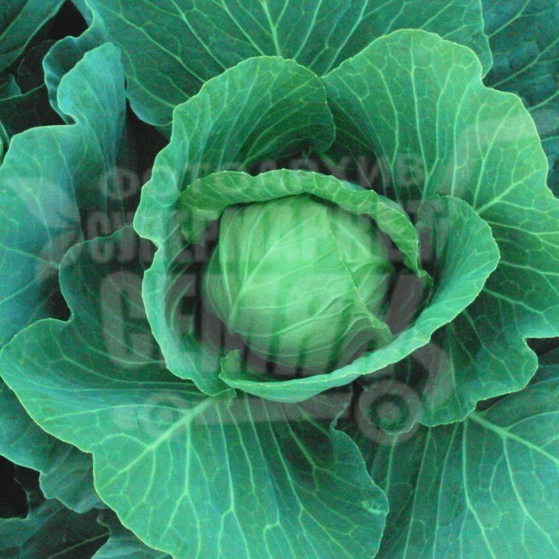 Капуста этма f1: описание и характеристика супер раннего голландского сорта, отзывы о выращивании