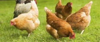 Чем кормить кур (несушек) чтобы неслись яйца? правильный рацион