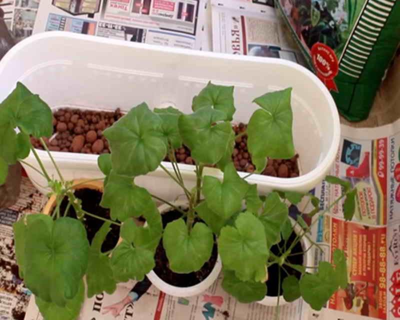 Как пересадить герань, как рассадить цветок пошагово