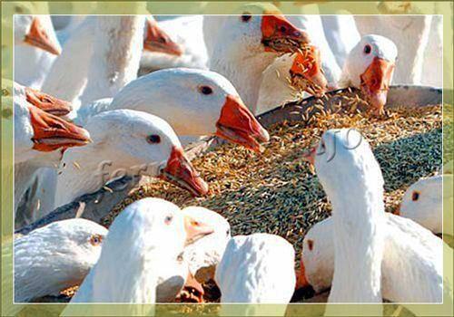 Чем и как кормить гусей для быстрого роста на мясо в домашних условиях