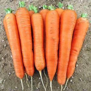 Лучшие сорта моркови для урала: для открытого грунта, отзывы о посадке семенами в открытый грунт, фото с описанием, советы по хранению, какие лучше сажать