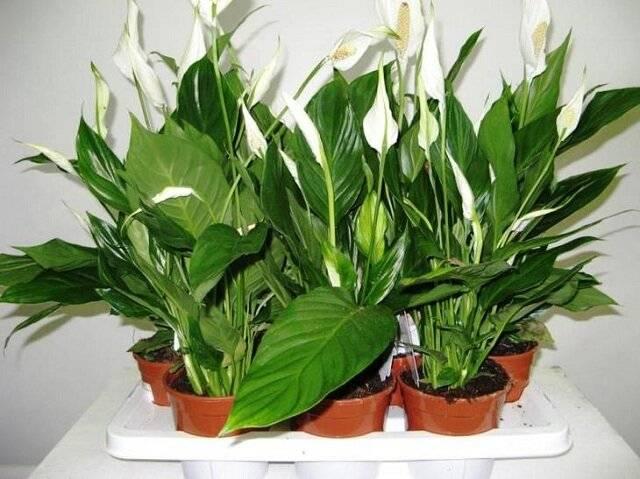 Удобрение для спатифиллума для правильного развития и цветения