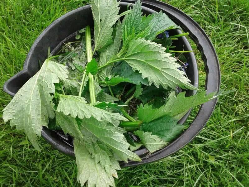 Удобрение из крапивы: польза зелёной подкормки, рецепты настоя для огурцов и других растений