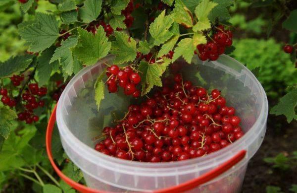 Чем подкормить садовую смородину до и во время плодоношения?