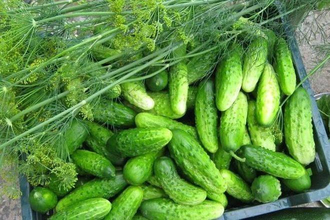Огурец емеля f1: отзывы, характеристики и описание сорта, фото, урожайность