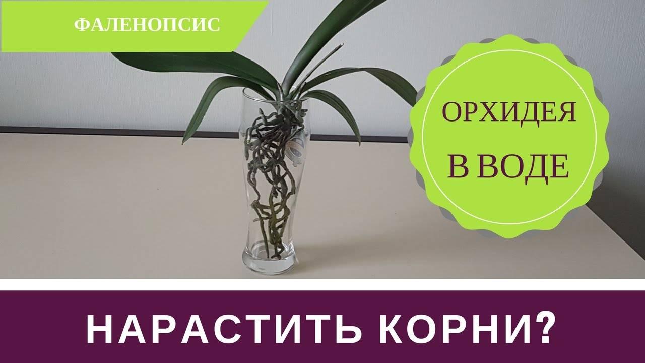 Как нарастить корни орхидеи в домашних условиях. советы для начинающих цветоводов.