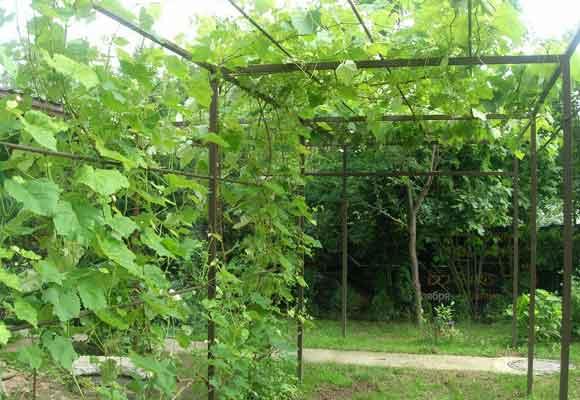 Можно ли выращивать виноград под навесом из поликарбоната