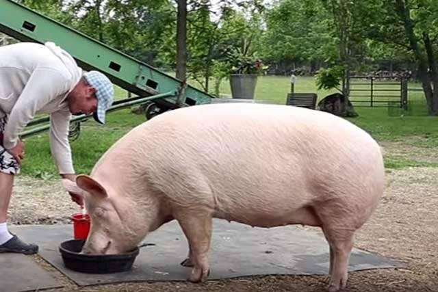 Как узнать вес свиньи?