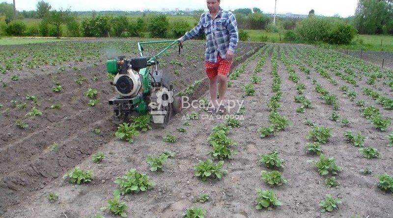 Прополка картофеля мотоблоком, как быстро уничтожить сорняки + видео