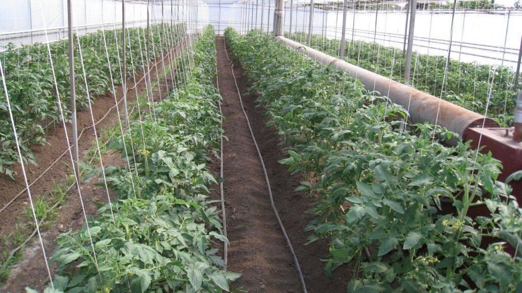 Посадка помидор в теплицу из поликарбоната: когда высаживать и как сажать
