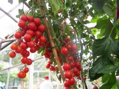 Подкормка томатов золой: преимущества и недостатки удобрения