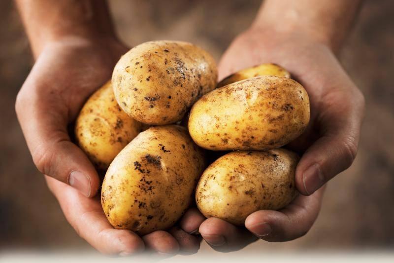"""Картофель """"адретта"""": описание и характеристика сорта, фото, отзывы"""