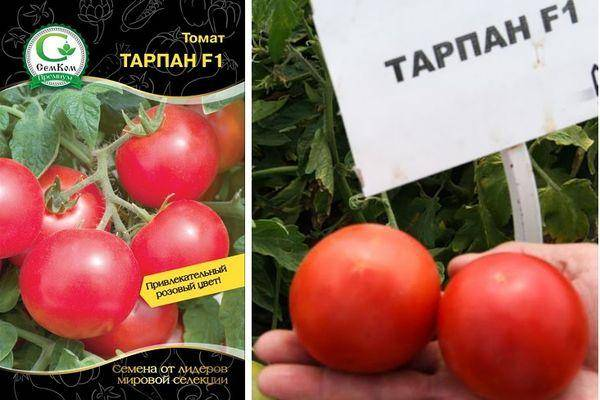 """Томат тарпан f1 - описание сорта, отзывы, урожайность - журнал """"совхозик"""""""