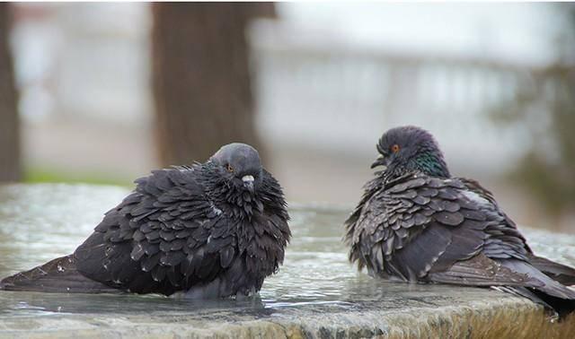 Орнитоз у голубей – симптомы, опасность заражения для человека, препараты для лечения