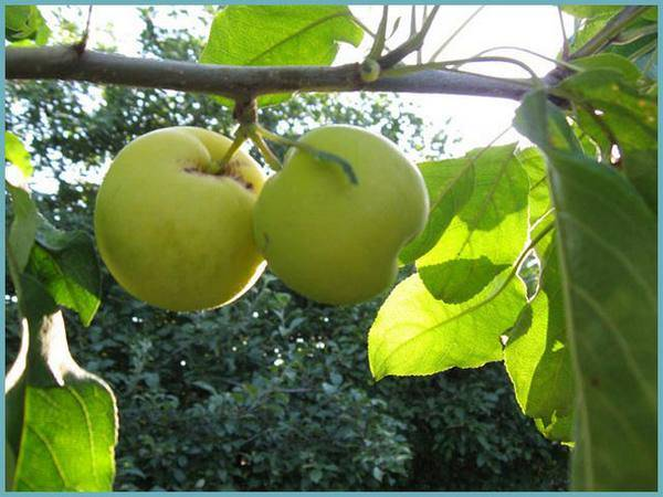 Яблоня китайка золотая ранняя — описание сорта, фото, отзывы