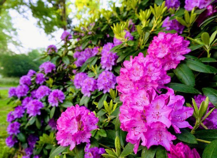 Рододендрон: описание, посадка в открытом грунте и уход за ним, чтобы обеспечить пышное цветение от подмосковья до сибири (80 фото & видео)