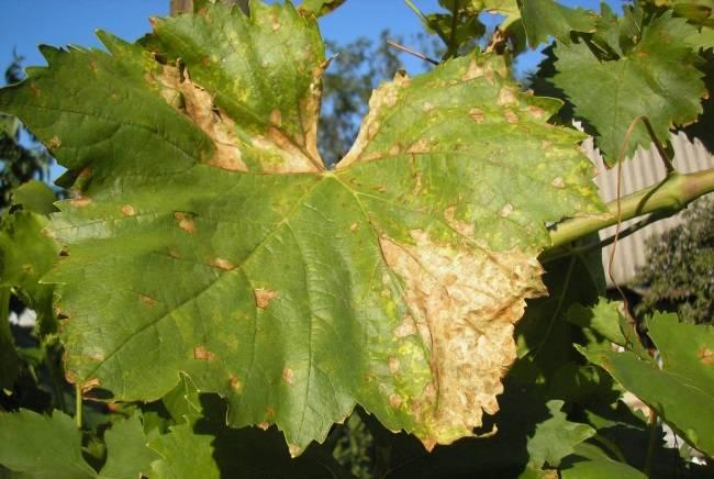 Болезни винограда: фото, описание, способы борьбы