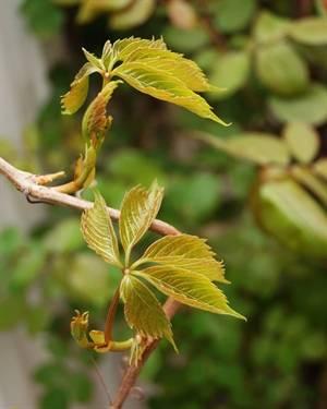 Размножение винограда девичий: как размножить черенками, отводками, семенами и другими способами