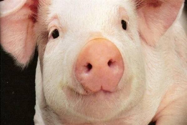 Свиньи долгожители или как долго могут жить хрюшки