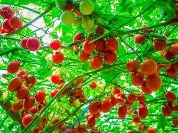 Помидорное дерево: выращивание в домашних условиях