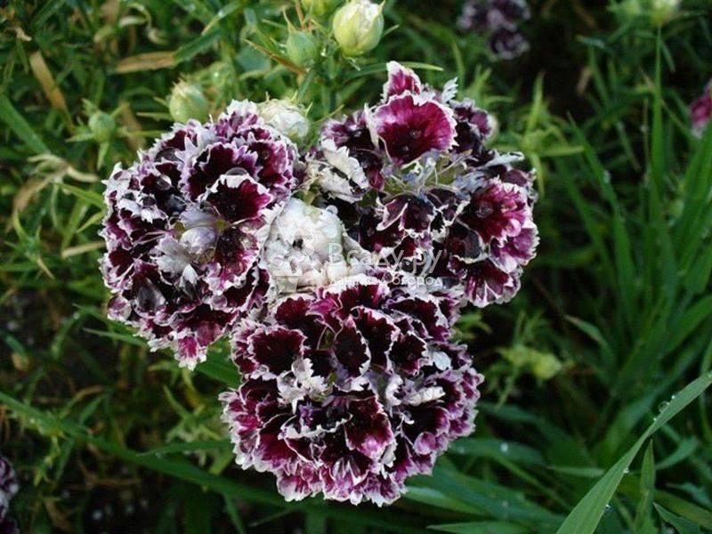 Гвоздика сизая: описание, сорта, рекомендации по выращиванию