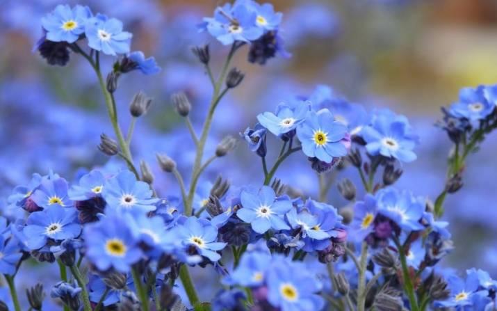Выращивание незабудок: семенами, черенками. фото.