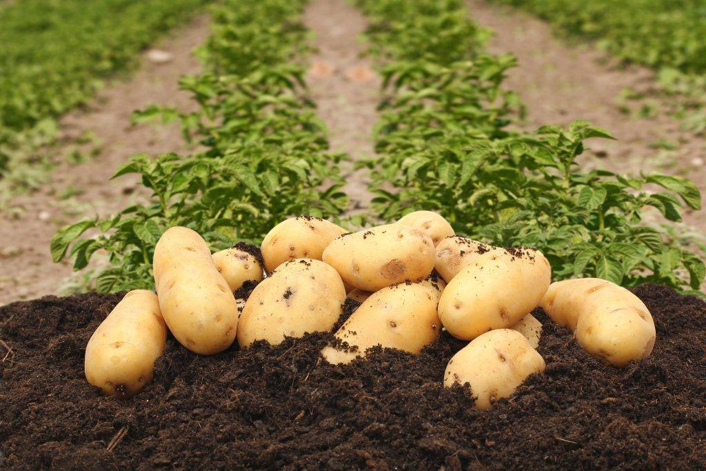 """Картофель """"колетте"""": описание сорта, фото, отзывы"""