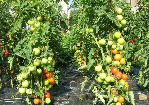 Для чего нужно формирование кустов томатов в теплице и как правильно осуществить процедуру?