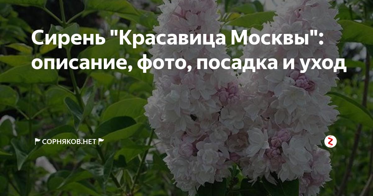 Сирень красавица москвы для посадки на участке, уход, фото, условия выращивания