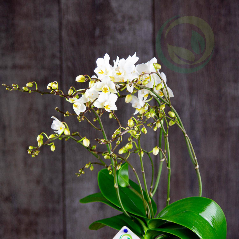 Какие бывают сортовые фаленопсисы: фото и названия