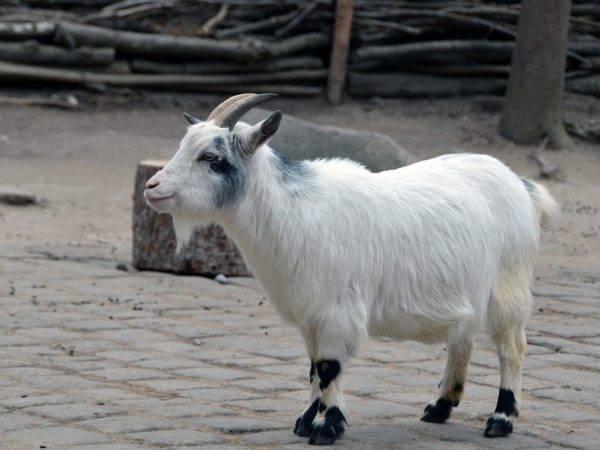 Карликовые козы (27 фото): породы декоративных мини-коз. можно ли держать их в квартире?
