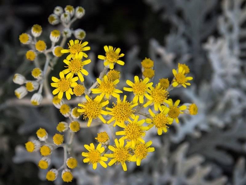 Цинерария серебристая — выращивание из семян в домашних условиях