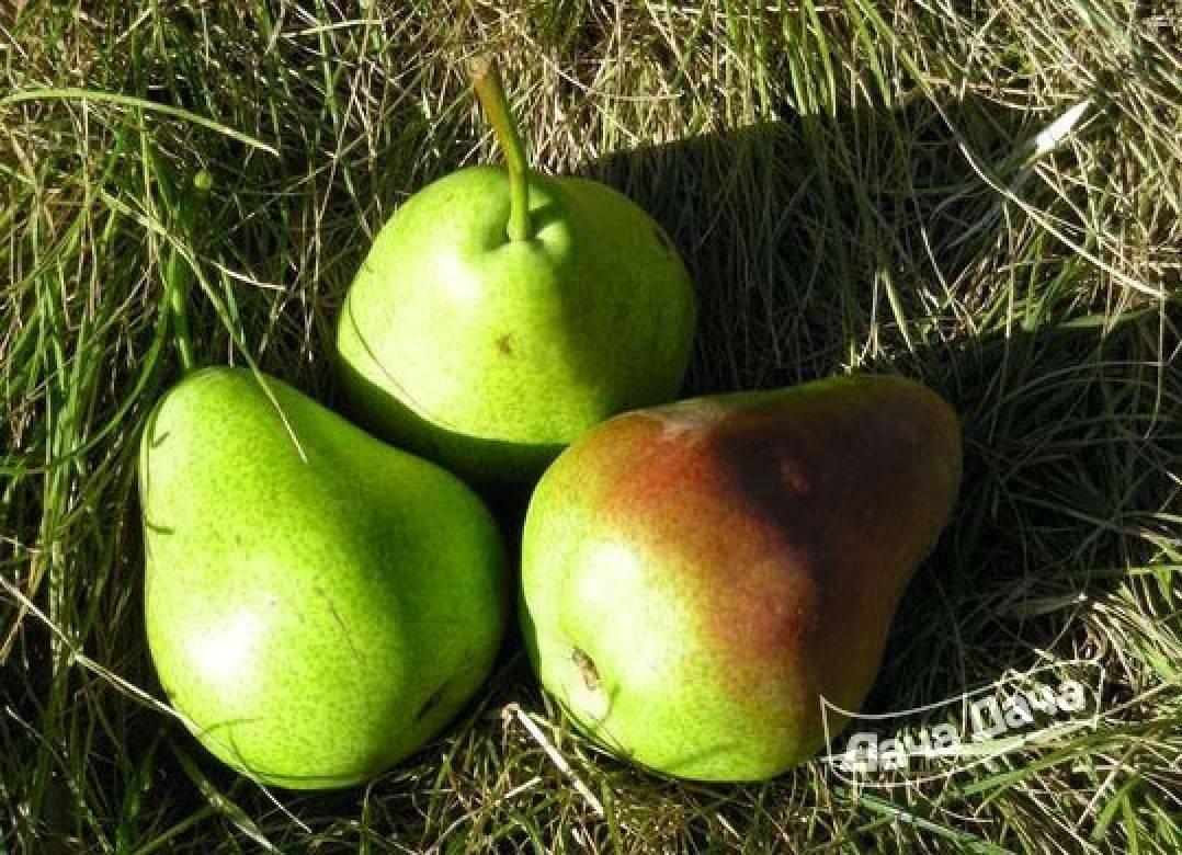 Характеристика сорта груши бессемянка